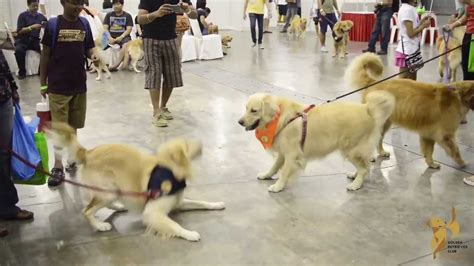 largest golden retriever on record largest gathering of golden retrievers by golden retriever club singapore grcs pet