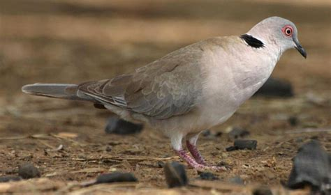 grey dove with black ring around neck an easter themed trackitthursday from tanda tula africa geographic