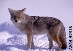 Field identification of wolves vs coyotes often difficult ...