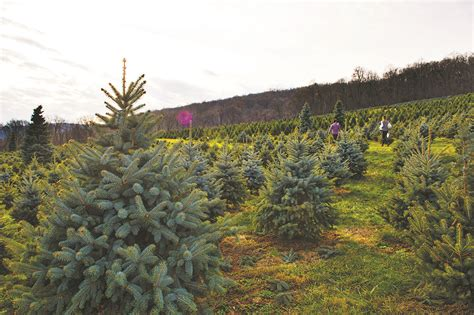 loudoun christmas tree growers prepare for rush loudoun now