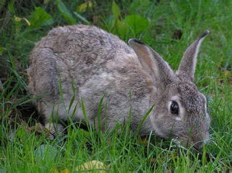 Grey Rabbits pictures of rabbits pictures geniusbeauty