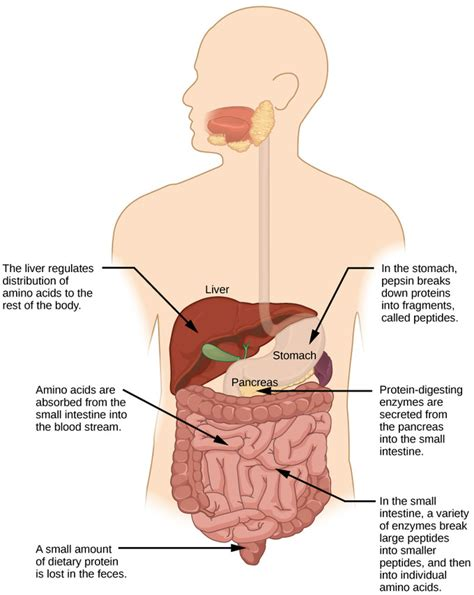 protein digestion begins in the protein digestion primarily begins in the all articles