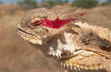 lizard out of one way two directions lizard that squirts blood out of