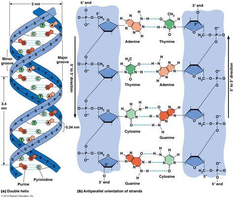 De En A Dna Total Cosmetic Solution biol2060 dna chromosomes the nucleus