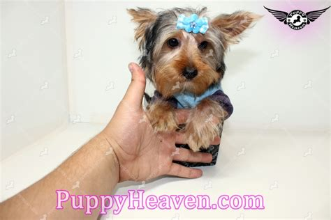 yorkie puppies los angeles aldo teacup yorkie puppy in los angeles 91304