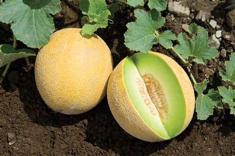 F1 Canary Sed diplomat f1 melon seed johnny s selected seeds