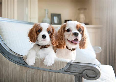 couch potato dog breeds 12 couch potato dog breeds