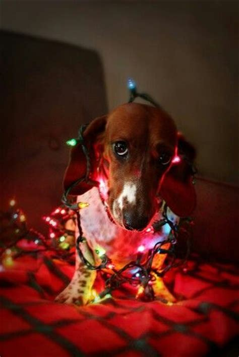 197 best dogs wrapped in christmas lights images on