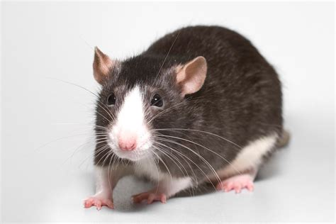 pictures of rats animal photos