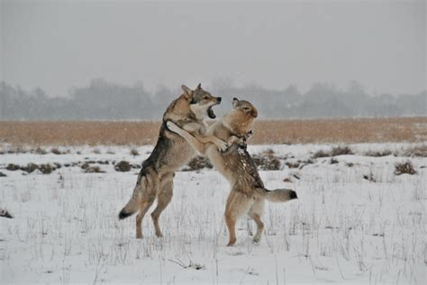 tutorial dance wolf czechoslovakian wolfdog dancing by junior wolf on deviantart