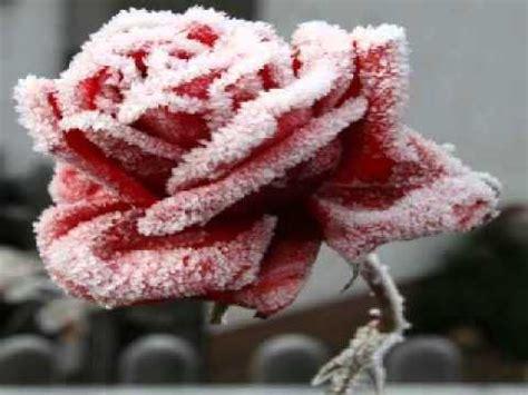 fiore d inverno senza sicura fiore d inverno lyrics