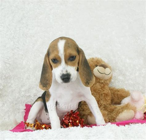 r puppies beagle puppies gallery breeds picture