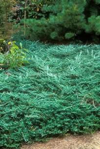 Blue Rug Plant Juniperus Horizontalis Wiltonii Blue Rug Juniper