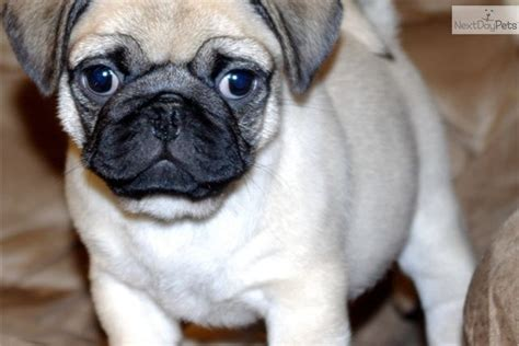 pug puppies portland oregon pug puppy for sale near portland oregon 55dde0ab 3821