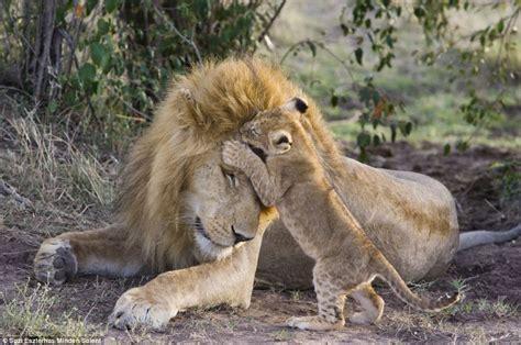imagenes de leones y sus cachorros un le 243 n ve a su cachorro por primera vez schnauzi com