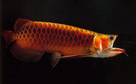 Arwana Golden arowana myth and
