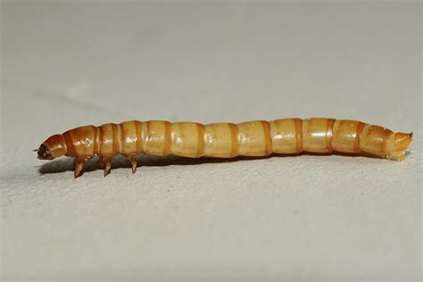 panoramio photo of mealworm