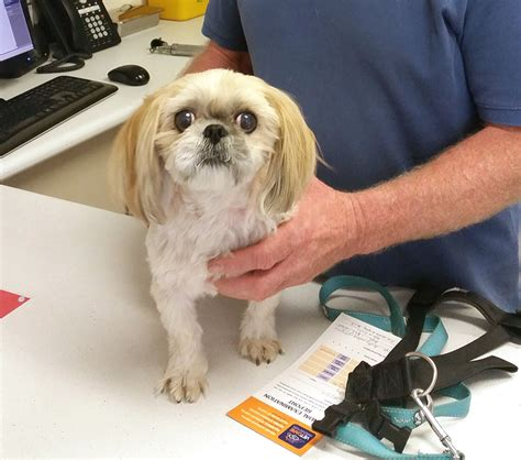 shih tzu ear infection home treatment drovers vet hospital