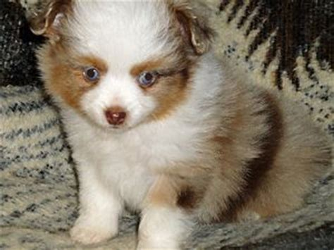 australian shepherd puppies for sale in louisiana miniature australian shepherd puppies for sale