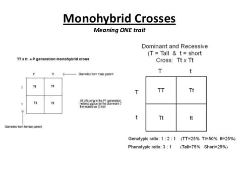 Monohybrid Cross Worksheet Answers by Monohybrid Cross Worksheet Answers Lesupercoin Printables