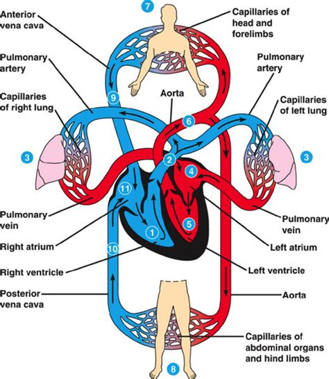 diagram of the circulatory system circulatory system diagram anatomy picture reference and