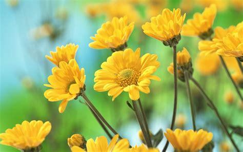 imagenes wallpapers flores flores amarillas fondos de pantalla flores amarillas