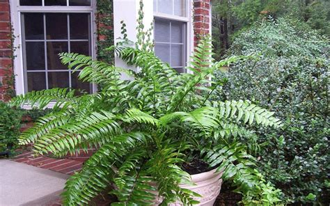 Garden Center Fort Myers Fern For Sale Fort Myers