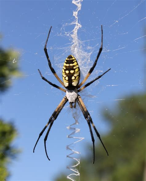 Black And Yellow Garden Spider by Montana S 10 Creepiest Bugs