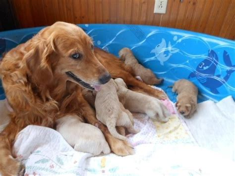 goldendoodle puppies for sale in wisconsin adorable goldendoodle puppies for sale in dunbar wisconsin classified