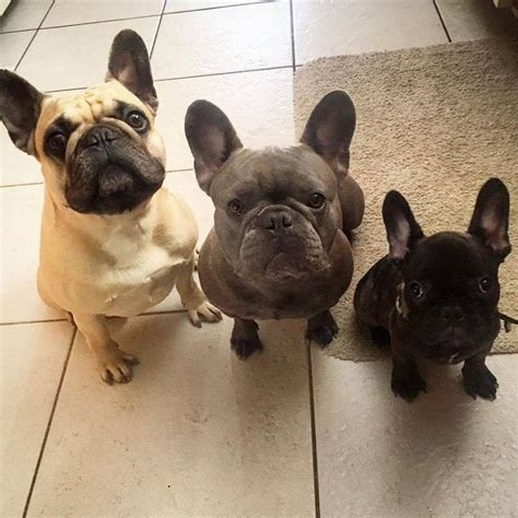 french bulldog c section 25 best ideas about mini french bulldogs on pinterest