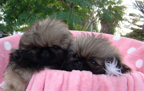 pug rescue brisbane blue chihuahua x maltese boys chihuahua in qld for sale breeds picture