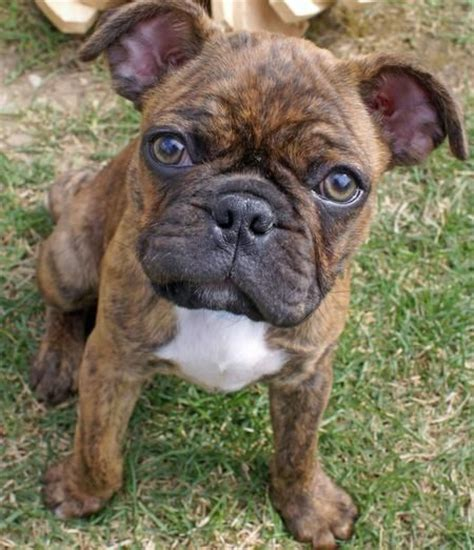 boxer pug 16 pug cross breeds you to see to believe