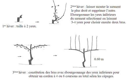 comment tailler une treille de raisin la taille des vignes domaine des peyre