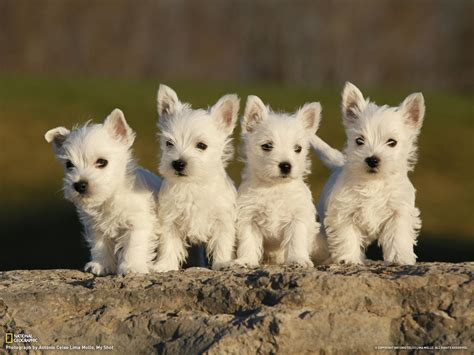 westie dogs west highland white terrier puppies