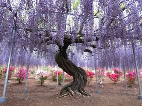 wisteria in japan najå adniejsze ogrody kawachi fuji garden â ogr 243 d z