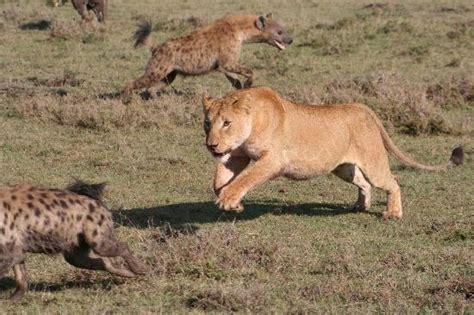 imagenes de leones vs hienas related keywords suggestions for leones vs hienas