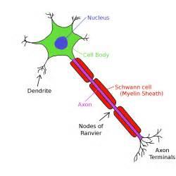 file neuron1 jpg wikimedia commons