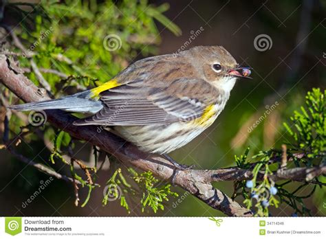 yellow rumped warbler royalty free stock image image