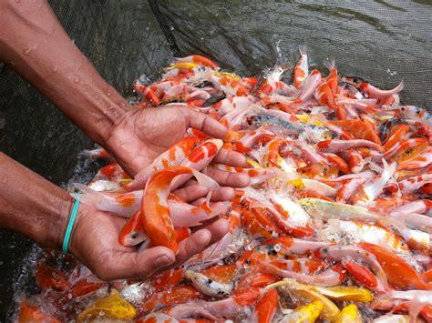 Jual Lu Hias Jakarta Timur jual ikan koi harga murah sukabumi oleh pt jaya perkasa
