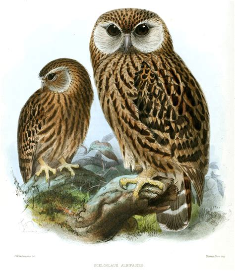 A Pic Of With by File Keulemans Laughing Owl Jpg Wikimedia Commons