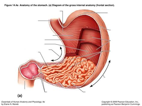 a diagram of the stomach ppt figure 14 1 194 194 the human digestive system