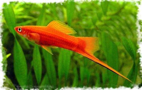 самые неприхотливые и маленькие аквариумные рыбки с фото видео обзор