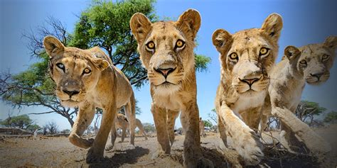 Of Lions lions national geographic