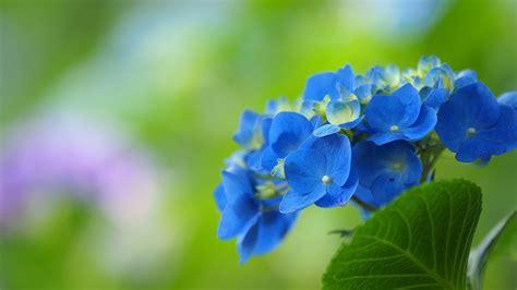 wallpaper blue hydrangea download wallpaper 1920x1080 blue hydrangea flowers green