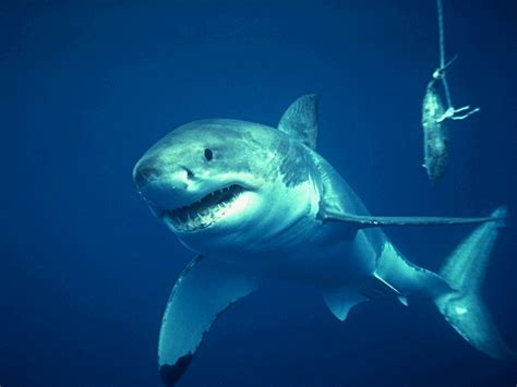 of great white shark of sea