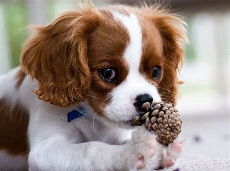 cheap cavalier king charles spaniel puppies for sale adorable cavalier king charles puppies for sale picture