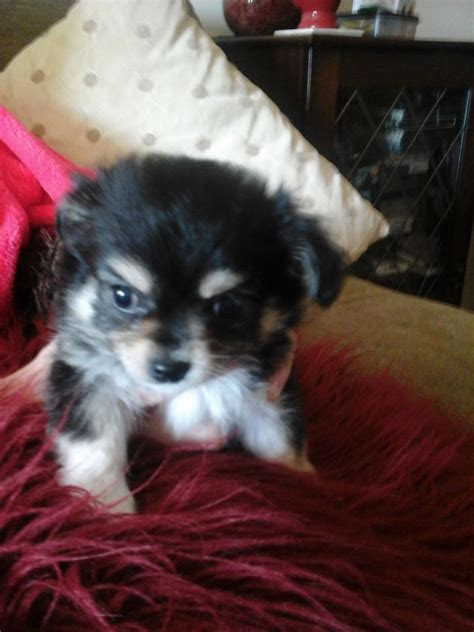 chihuahua puppies for sale in chihuahua puppies for sale shrewsbury shropshire pets4homes