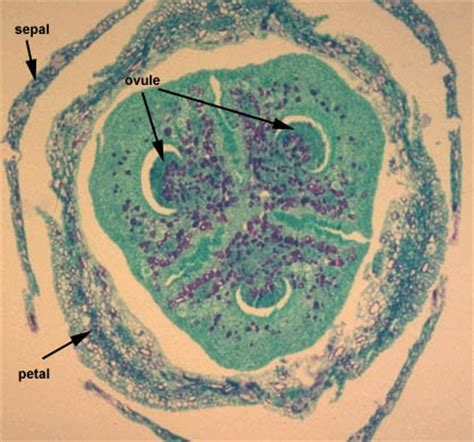 ovary cross section lab 25 web page