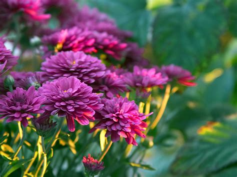 mums flowers 5 house plants that improve air quality flower blog