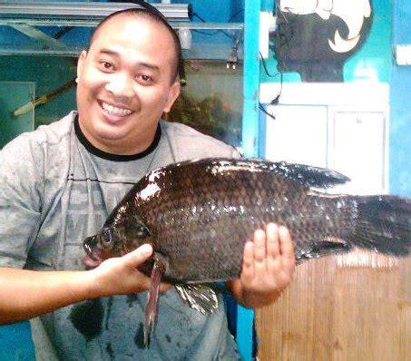 Benih Ikan Nila Hitam ikan nila